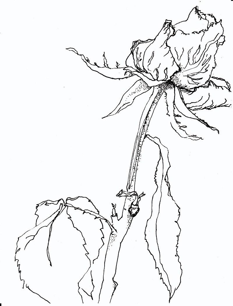 rose zeichnen lernen rose zeichnen mit martina wald seite. Black Bedroom Furniture Sets. Home Design Ideas