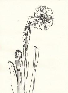 Narzissenblüte