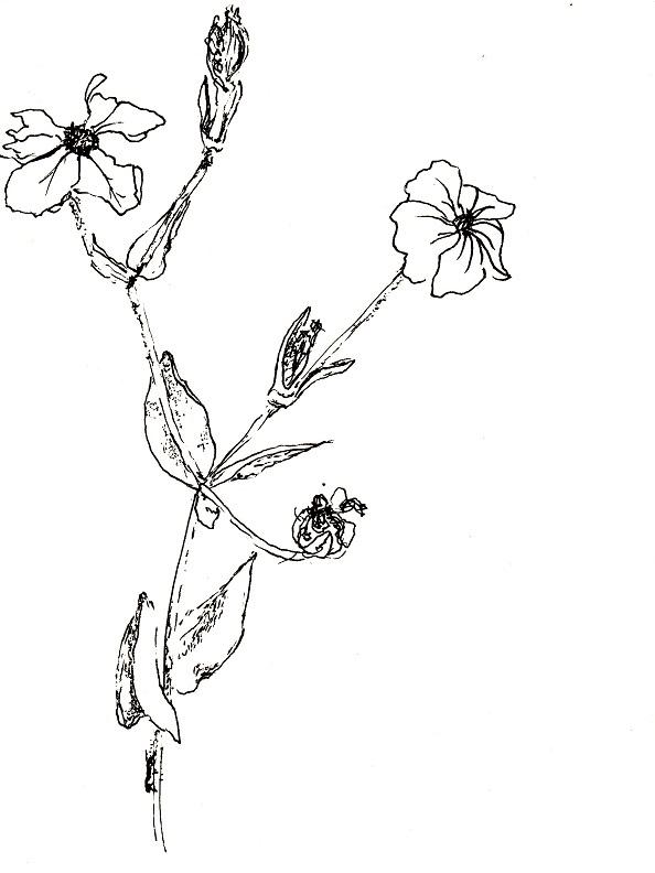 Verwilderter garten phlox zeichnen mit martina wald - Garten zeichnen ...