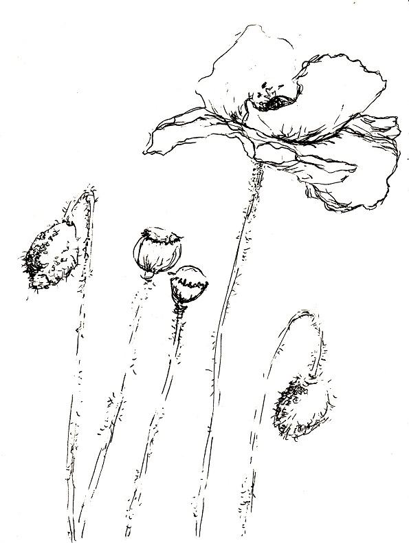 Verwilderter garten klatschmohn zeichnen mit martina wald - Garten zeichnen ...