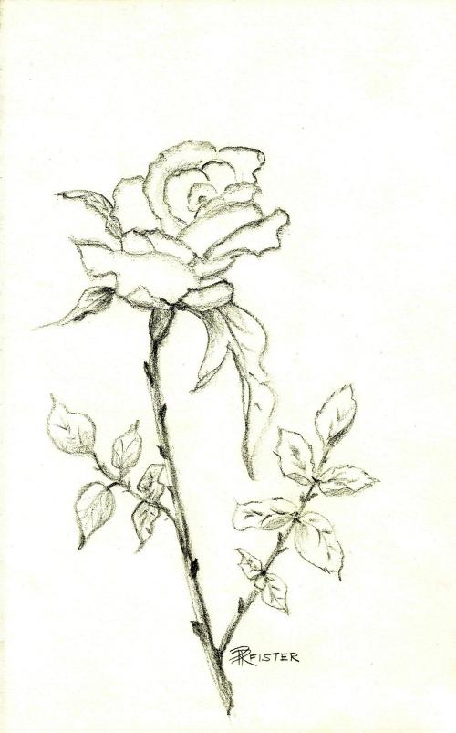 Rosemarie Pfister Rose Zeichnung