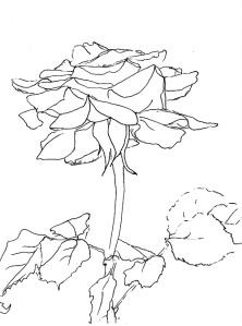 Rose265