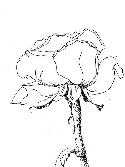 Rose272
